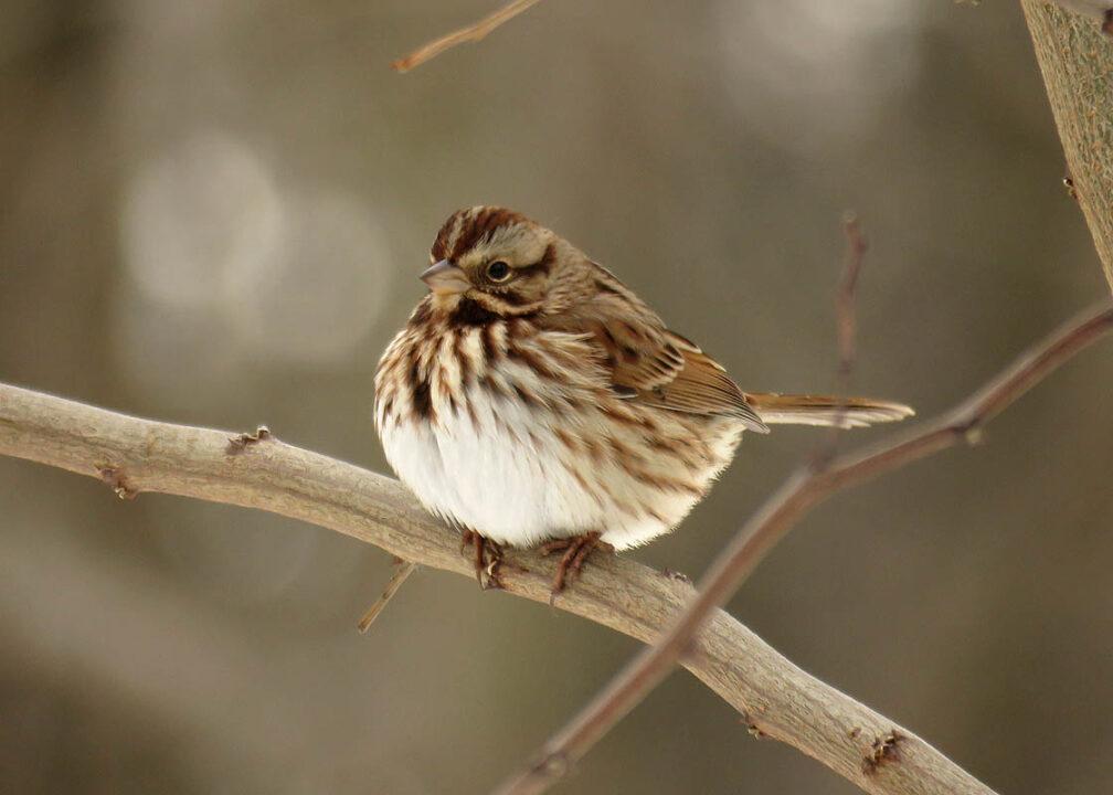 Sunnyside Conservancy - Song Sparrow