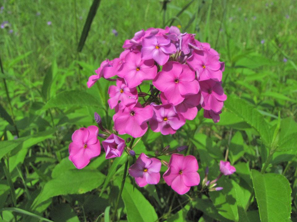 Forest Ave Oak Savanna - Prairie Phlox 6-25-10