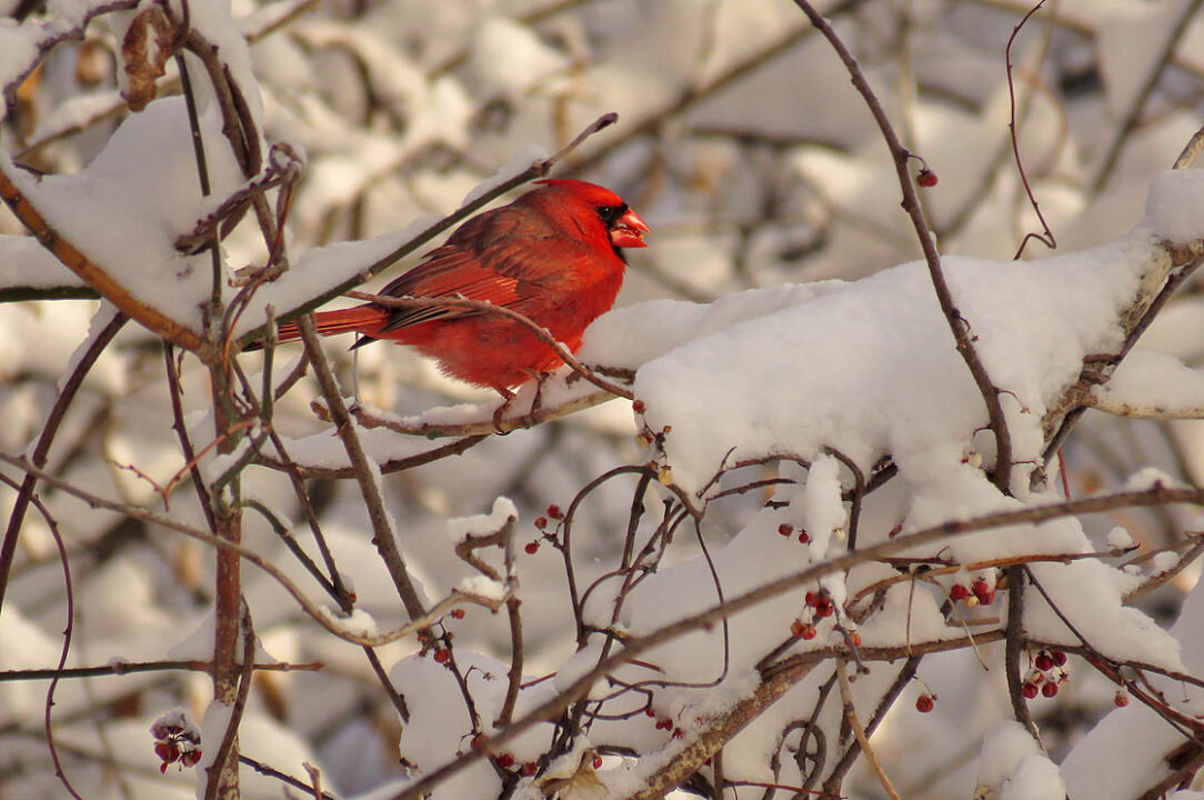 Hammer's Trail 2018 4-4 after snowfall IMG_3025 Northern Cardinal