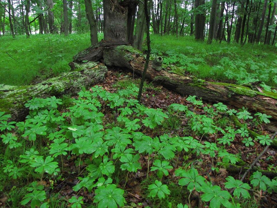 Sugar Island Conservancy - forest floor