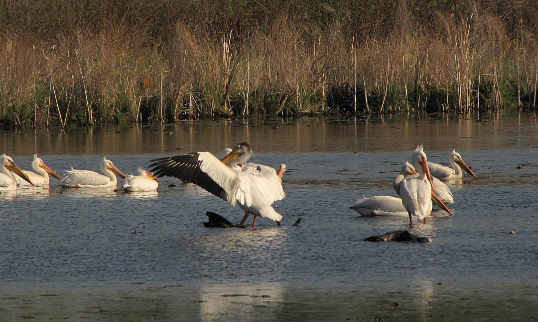 Sugar Island - Am White Pelicans 5-18-09 GL Mill Pond