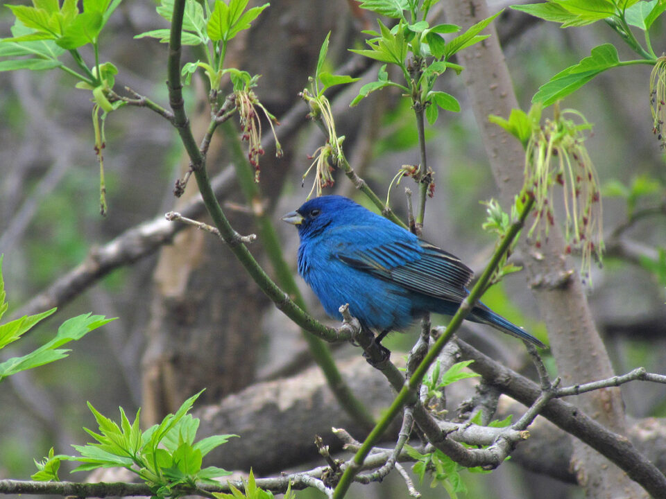Assembly Creek and Springs - Indigo Bunting