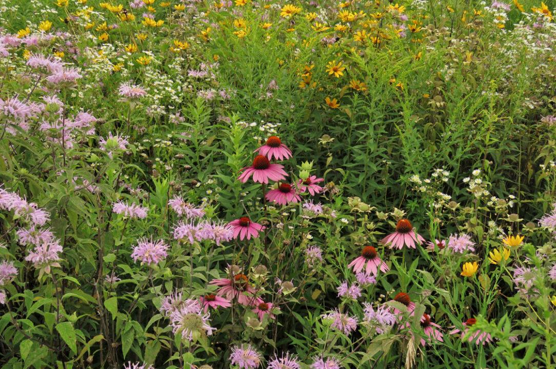 Tuleta Hill Conservancy prairie flowers 1