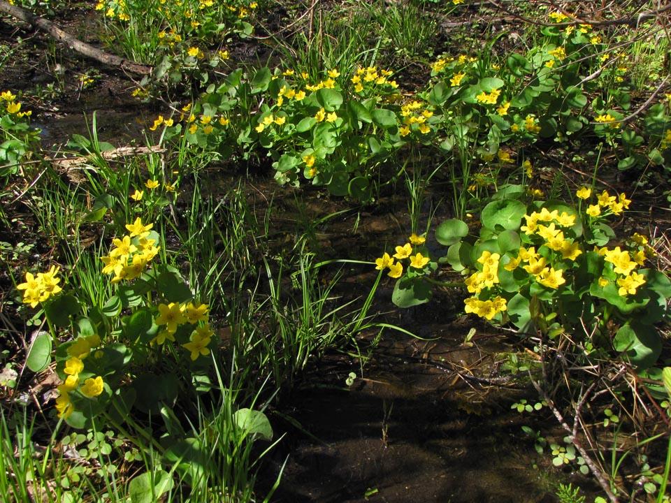 Wick Nature Preserve - Marsh Marigolds2 4-27-10