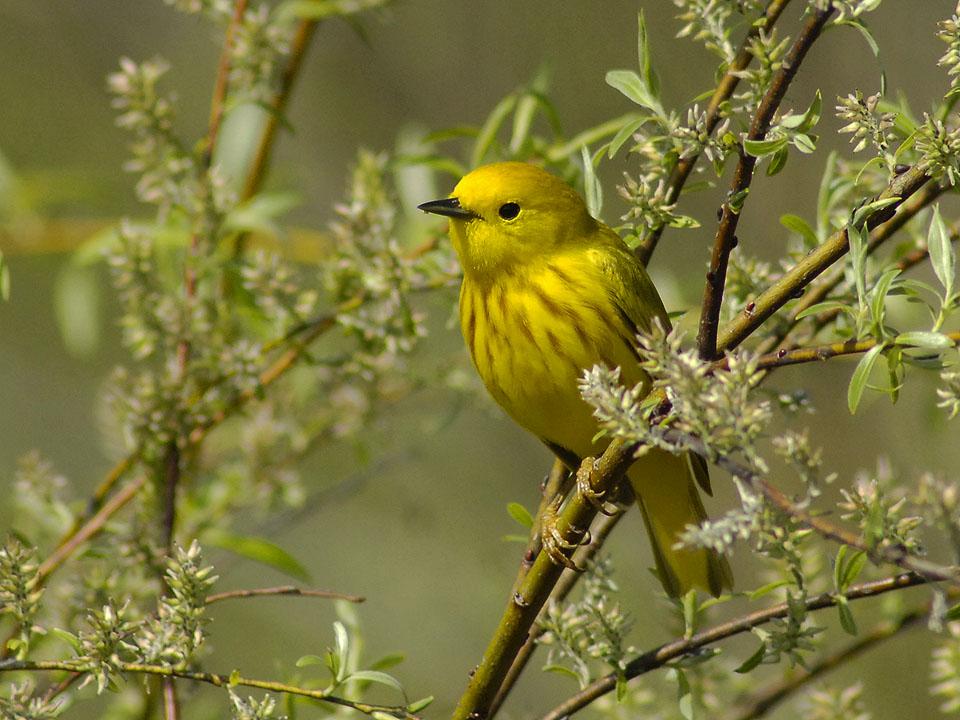 Norwegian Bay Conservancy - Yellow Warbler