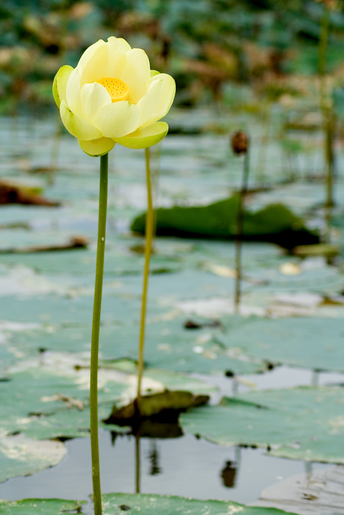 tall yellow lily in pond