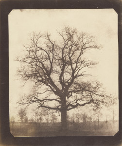 oak tree winter photo