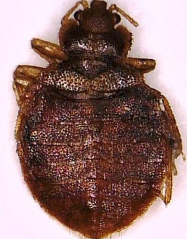 beg bugs