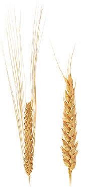 Two Row And Six Row Barley