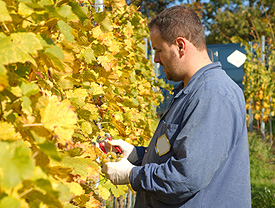 Evaluating Wine Grapes For Harvest