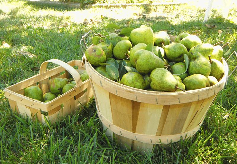 Bushell of Pears