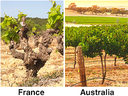 Difference Between Shiraz And Syrah Vineyard