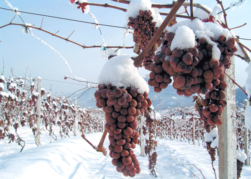 Grapes Used In Ice Wine Recipe