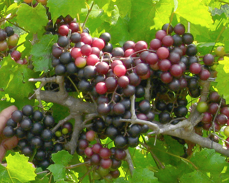Muscadine Grapes For Making Wine