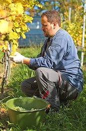 Man Picking Grapes For Wine