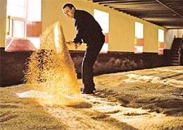 Maltster turning malted barley grain.