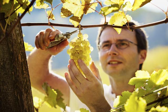 Man Cutting Grapes