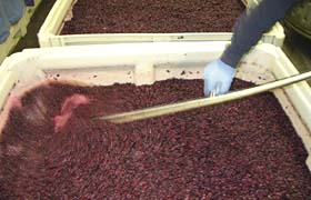 Crushed Grapes In Primary Fermentation