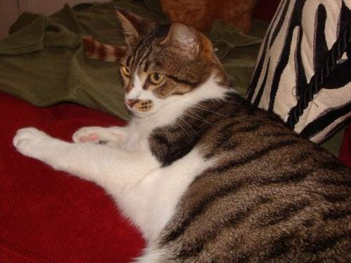 TAbby Tuxedo Cat For Adoption Missouri