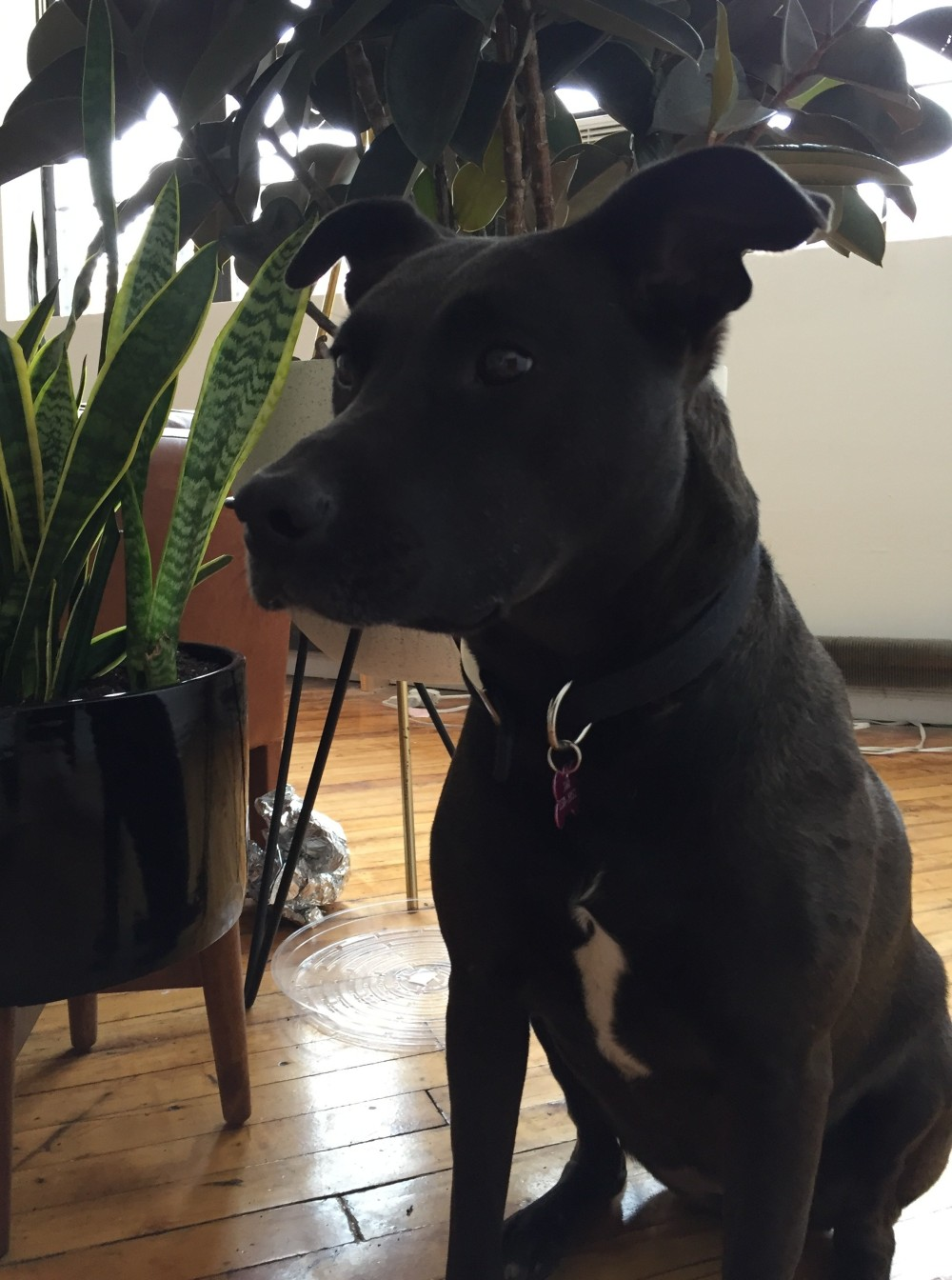 Black Lab Mix for Adoption in Brooklyn – Boomer
