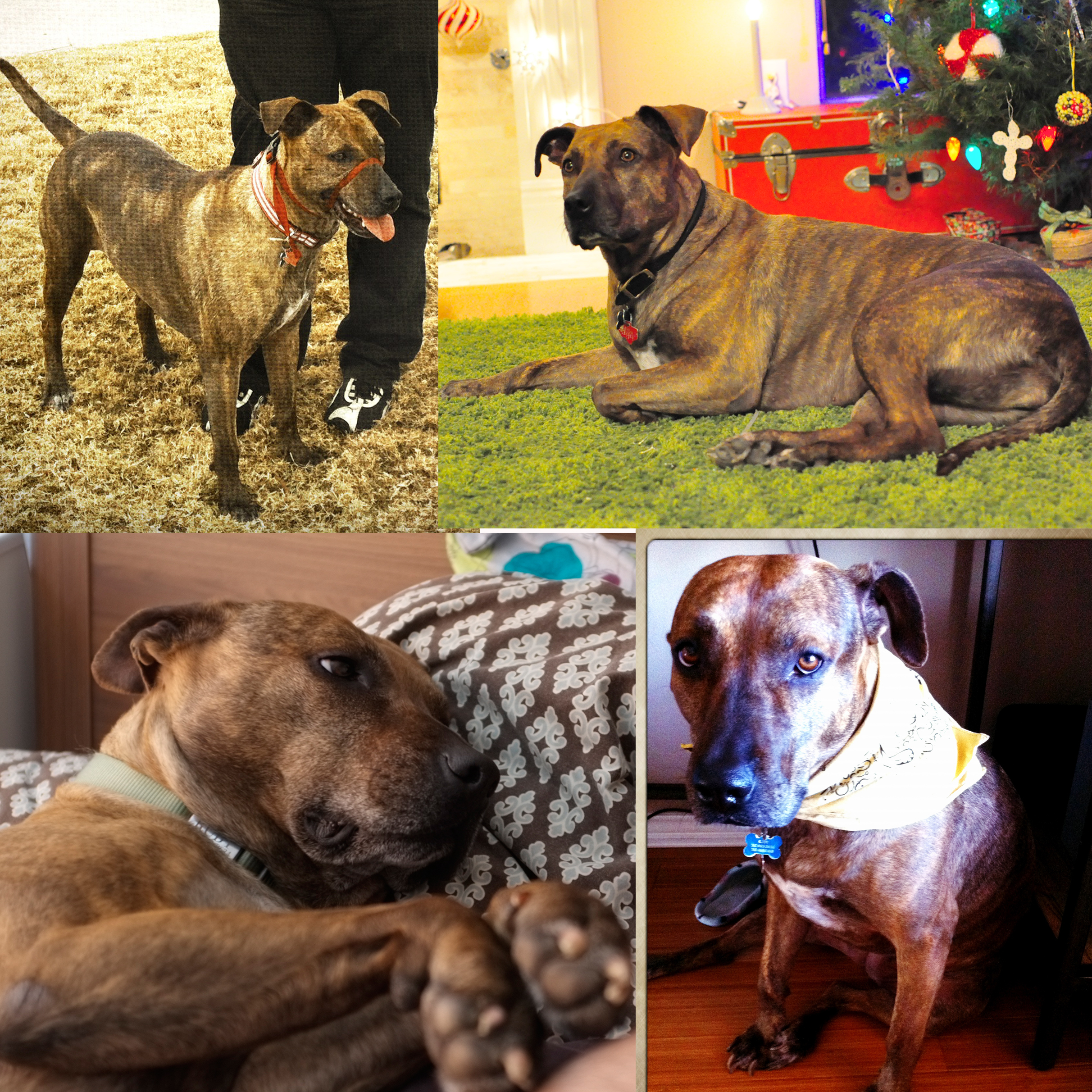 ADOPTED – Brindle, Hound, Pit Mix Named Ruby Located in Tennessee