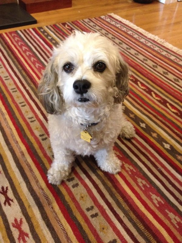 ADOPTED – Male Bichon Dog Named Hudson