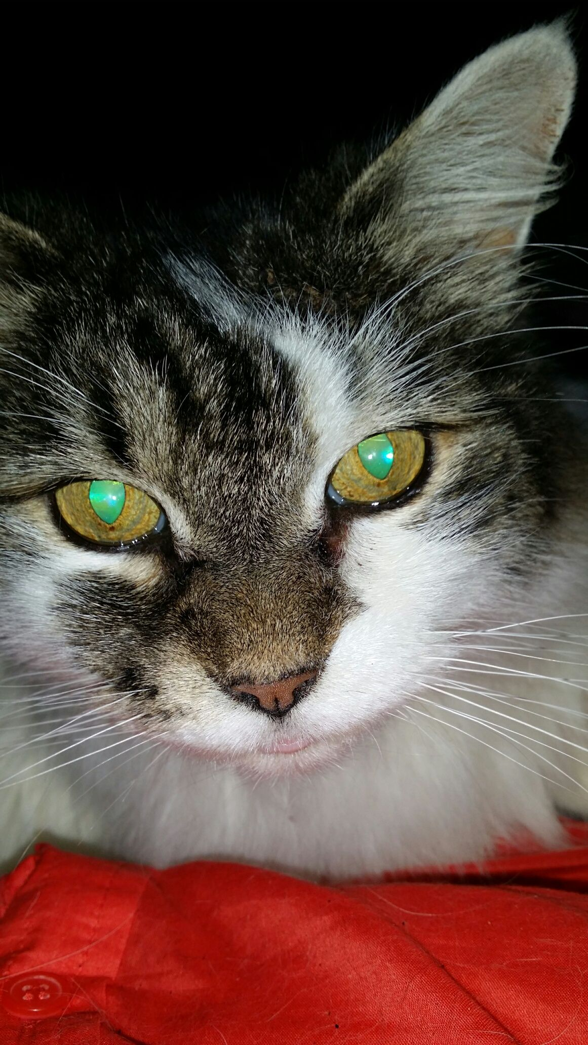 Adopted Male Main Coon Cat Named Gizmo