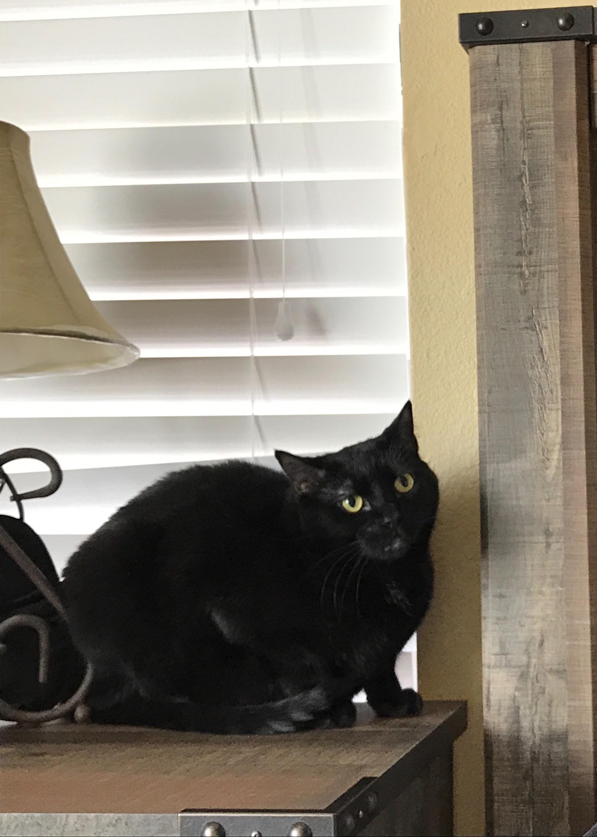 Male Domestic Shorthair Cat Jasper