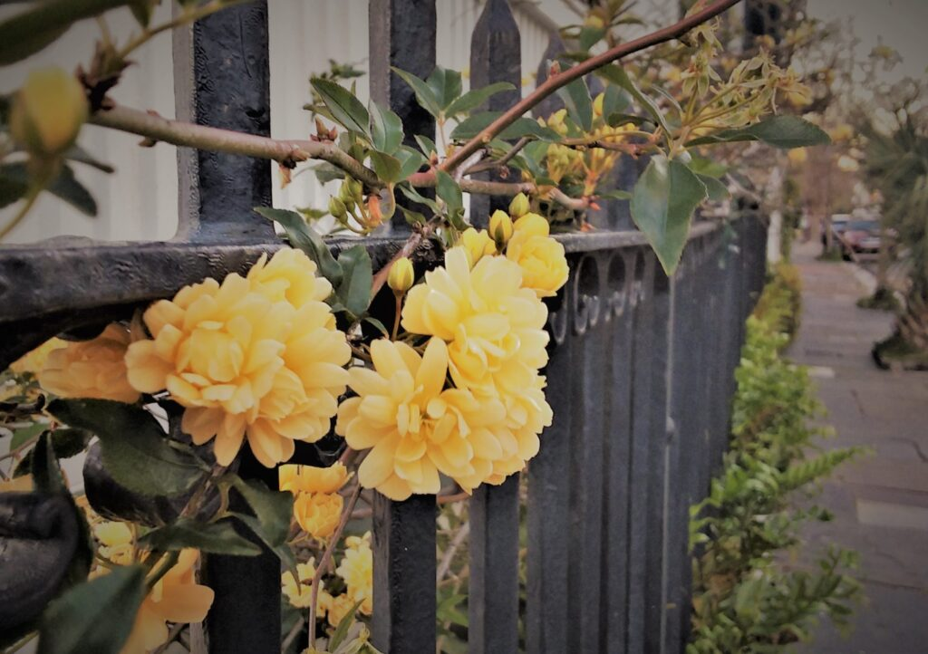 charleston south carolina southern historic travel lady banks rose climbing rose on black iron fence yellow ambience sidewalk street spring blooms flowers
