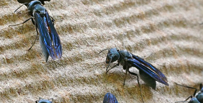 Hornets-and-Wasp-extermination-and-control-by-Pro Trap Animal Removal & Pest Control in Southwestern Ontario