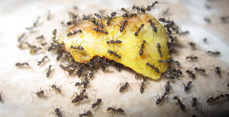 ants-for-pest-control-and-pest-management-by-Pro Trap Animal Removal & Pest Control in Southwestern Ontario
