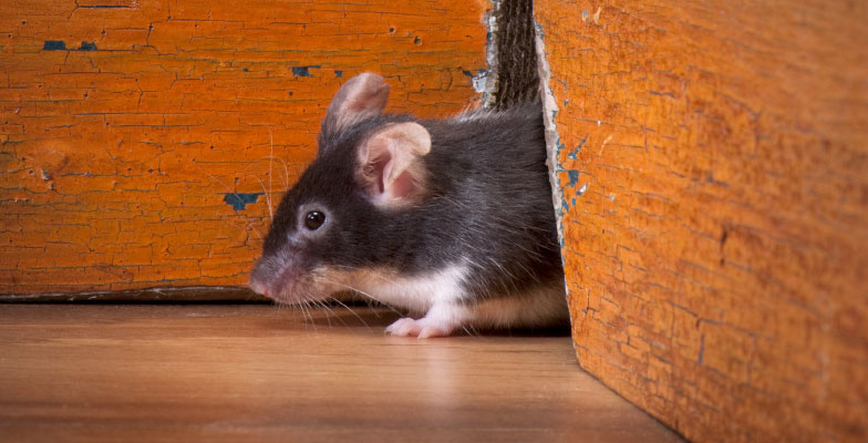 How-Do-You-Know-if-You-Have-Mice-in-Your-Hom