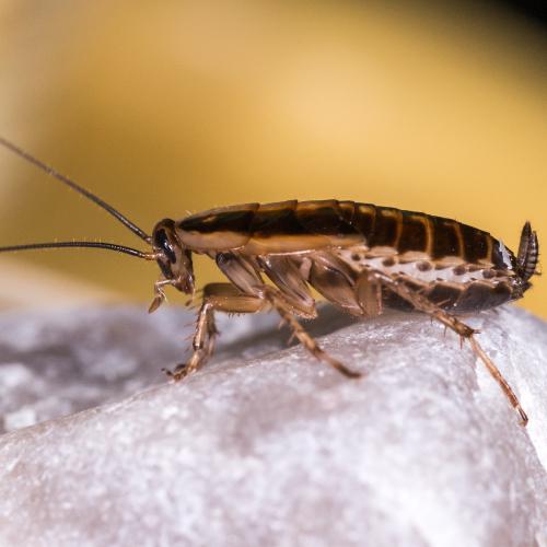 german-cockroach-PRO-TRAP-PEST-CONTROL-SERVICES