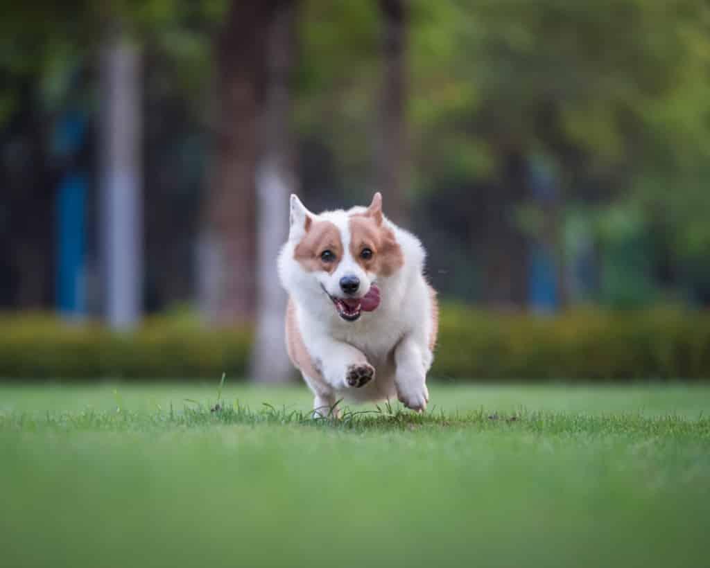 a corgi dog running freely on the grass