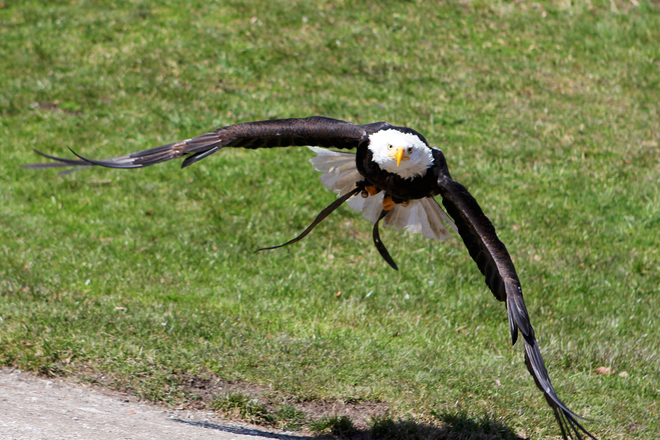 An Eagle Approaches