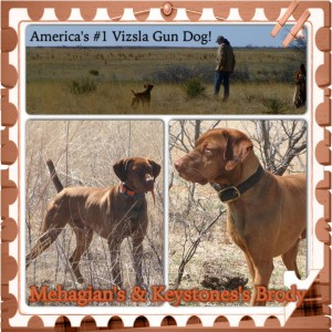 America's #1 Vizsla Gun Dog