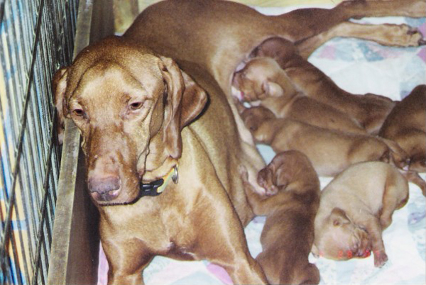 "Mehagian's ""Maddie"" with pups"