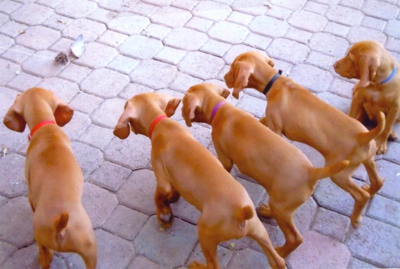 Mehagian Puppies
