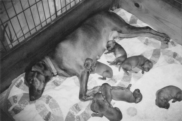 "Mehagian's ""Maddie"" and her pups"