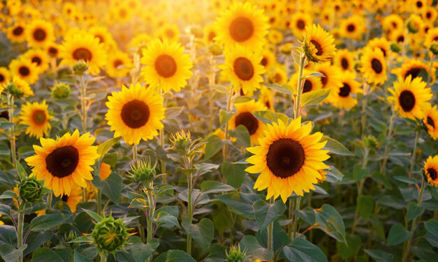 Sunflowers, How to Plant, Grow, and Care