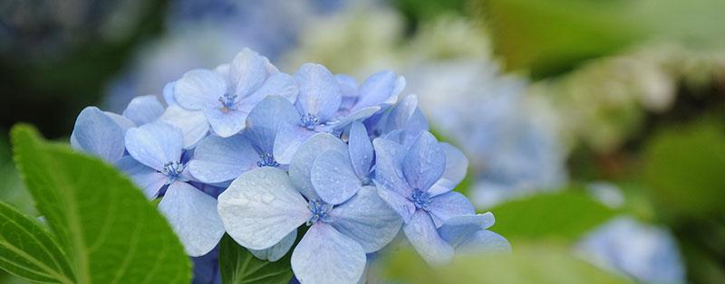 De Hortensia is geschikt voor tuinen met kleigrond
