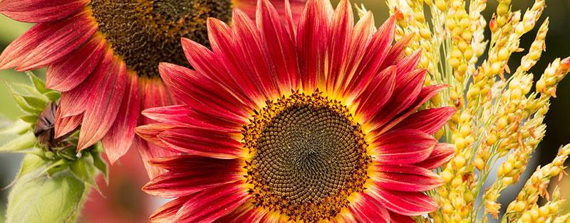Rode zonnebloem