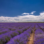 Lavender plant, How to Prune, Care and Use