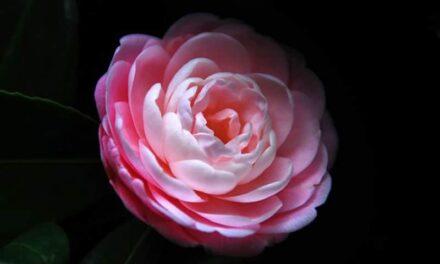 Winter flowers, 10 flowers that bloom in winter