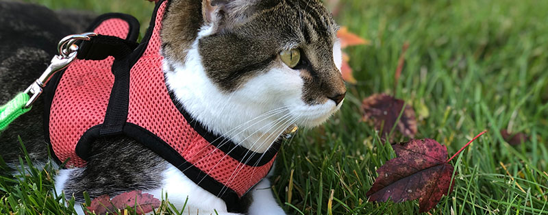 Cat on a leash in the garden