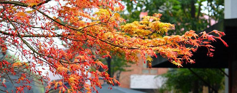 Acer Palmatum, the Japanese maple