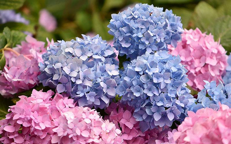 The 17 most beautiful hydrangea varieties