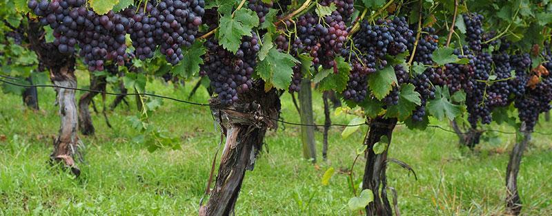 Vitis Vinifera, druif