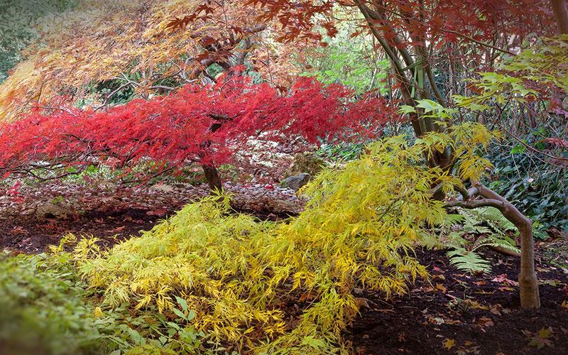 Acer palmatum, 10 stunning varieties