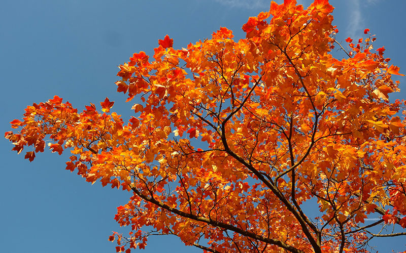 The 28 most beautiful types of maple trees